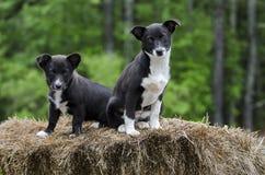Двойной Corgi Коллиы границы смешал собаку щенка породы Стоковые Фото