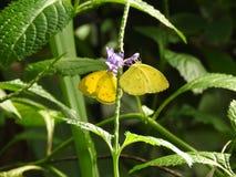 Двойные бабочки стоковое фото