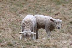 Двойные белые овечки пася в выгоне Стоковые Изображения