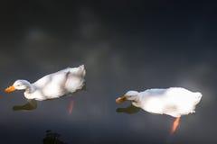Двойные гусыни плавая в озере Стоковые Фото
