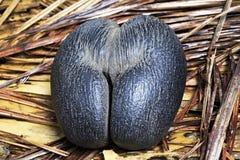 Двойные кокосы de mer гайки стоковое изображение