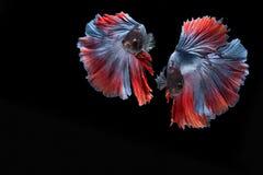 Двойные красочные рыбы Betta, сиамские воюя рыбы изолированные на черной предпосылке Стоковое фото RF