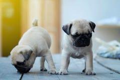 Двойные милые русые щенята мопса стоя на деревянном столе стоковое фото rf