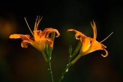 Двойные оранжевые цветки Стоковая Фотография