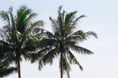 Двойные пальмы пошатывая в воздушном солёном заливе веют на уединённом стоковые фотографии rf