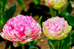 Двойные тюльпаны касания на Showa Kinen Koen, токио, Японии Стоковые Изображения RF