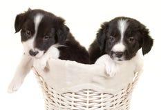 Двойные щенята Коллиы границы Стоковая Фотография