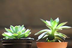 Двойные succulents Стоковые Изображения