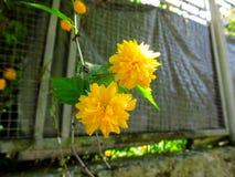 2 двойных желтых цветка изолированного ` Pleniflora ` japonica Kerria висят на ветви, конце-вверх Стоковое фото RF