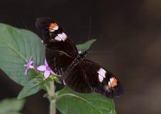 Двойн-запятнанная макросом бабочка почтальона стоковое изображение