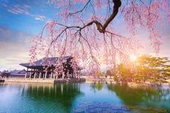 Дворец Gyeongbokgung с временем дерева вишневого цвета весной внутри Стоковое Фото