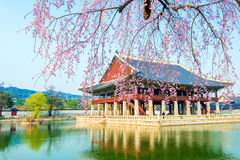 Дворец Gyongbokgung с вишневым цветом весной, Корея Стоковое Изображение RF