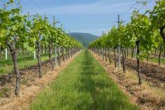 Двор вина Стоковое Фото