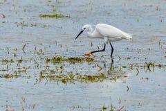 Двувидный Egret - свет Morph Стоковое Изображение