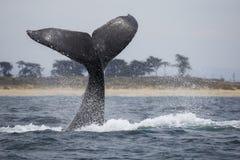 Двуустка горбатого кита Стоковое фото RF