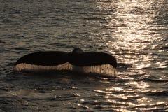 Двуустка кита на заходе солнца Стоковое фото RF