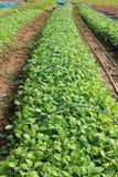 Двухлетние vegetable урожаи стоковая фотография