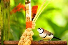 Двух-запертая еда птицы зяблика Стоковая Фотография