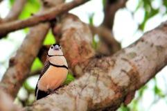 Двух-запертая птица зяблика на ветви дерева Стоковое Фото