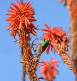 Двух-collared Sunbird Стоковые Изображения RF