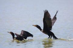 Двух-crested бакланы принимая полет стоковые фото