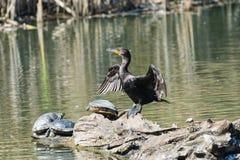 Двух-crested баклан на имени пользователя пруд с черепахами стоковое фото
