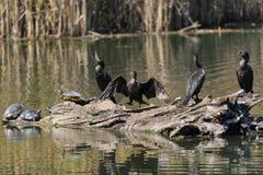 Двух-crested баклан 4 на имени пользователя пруд с черепахами стоковые фото