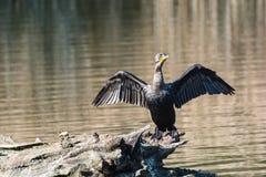 Двух-crested баклан с протягиванными крыльями на имени пользователя p стоковая фотография