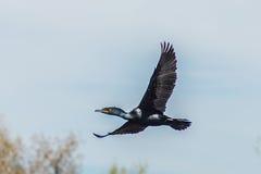 Двух-crested вода летания баклана Стоковая Фотография