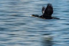 Двух-crested вода летания баклана Стоковое фото RF