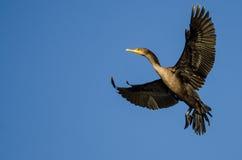Двух-Crested летание баклана в голубом небе Стоковое фото RF