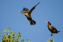Двух-Crested летание баклана в голубом небе Стоковое Фото