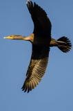 Двух-Crested летание баклана в голубом небе Стоковые Изображения RF