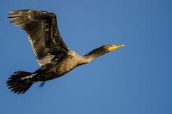 Двух-Crested летание баклана в голубом небе Стоковые Изображения