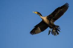 Двух-Crested летание баклана в голубом небе Стоковые Фото