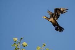 Двух-Crested летание баклана в голубом небе Стоковая Фотография