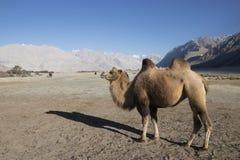 Двух--humped верблюд на Nubra Стоковые Фотографии RF