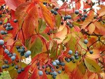 Девичьи виноградины Стоковая Фотография