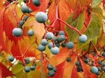 Девичьи виноградины Стоковые Изображения