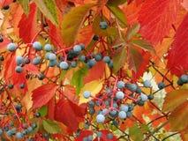 Девичьи виноградины Стоковое Изображение
