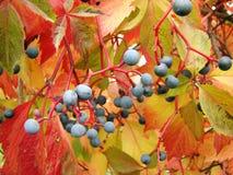 Девичьи виноградины Стоковые Фотографии RF
