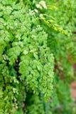 Девичьи лист зеленого цвета Sp Adiantum папоротника волос сияющие Стоковые Изображения