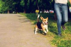 Девушка бежать с ее милой женской собакой бигля в парке на лете Фото образа жизни стоковая фотография