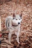 Девушка в парке их дом с лайкой собаки Девушка с Стоковые Фотографии RF