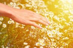 Девушка гладит рукой поле с маргаритками Концепция единства с природой, очищенностью природы Стоковое Изображение