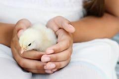 Девушка держа белый цыпленок Brahma стоковые изображения rf