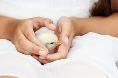Девушка держа маленький белый цыпленок Brahma стоковые фото