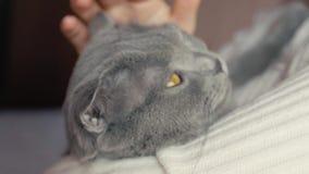 Девушка держит кота в ее оружиях и штриховать ее Серый кот британцев Shorthair акции видеоматериалы