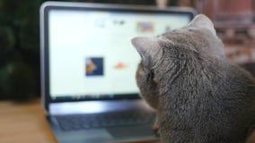 Девушка и великобританский серый цвет кота с компьтер-книжкой Продукты приобретения онлайн для животных сток-видео