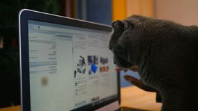 Девушка и великобританский серый цвет кота с компьтер-книжкой Продукты приобретения онлайн для животных видеоматериал